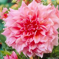 These dahlias can light up a whole garden with their knockout pink flowers