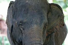 Asian Elephant, Elephants, Instagram Posts, Projects, Animals, Animais, Animales, Animaux, Animal