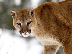 ...  known as a mountain lion, puma or panther, this North American big cat is intelligent and curious, known to stalk hunters just to observe their behaviour. Description from outdoorcanada.ca. I searched for this on bing.com/images