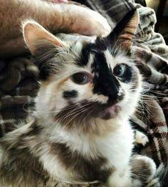 Most Beautiful Cats And Kittens Beautiful Cats Dogs Cute Cats And Kittens, I Love Cats, Crazy Cats, Cool Cats, Kittens Cutest, Ragdoll Kittens, Ragdoll Cats, Pretty Cats, Beautiful Cats