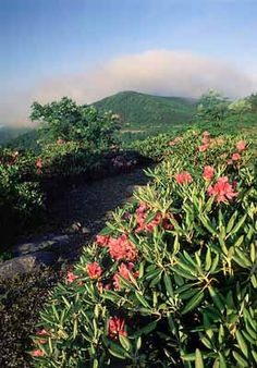 View over Catawba rhododendron [rhododentron catawbiense] towards Craggy Gardens. Location: NC, Buncombe County, The Blue Ridge Parkway, Craggy Gardens Area, on Craggy Mtn, Visitors Center & Overlook (MP 365). [ref. to #227.312]