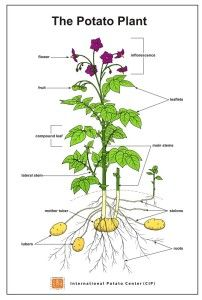 potato plant images - AT&T Yahoo Image Search Results Potato Plant Images, Outside Planters, Potato Nutrition, Soil Improvement, Terrace Garden, Back Gardens, Growing Vegetables, Spring, Soaps