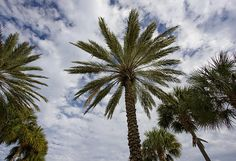 Palm trees viewed from ground against a blue and cloudy sky. Clearwater Beach includes a resort area and a residential area on the Gulf of Mexico in Pinellas County on the west central coast of Florida.