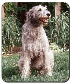 "Love ""Murchu"" (Murphy) for an Irish Wolfhound name! He will, after all, be living on a boat!"