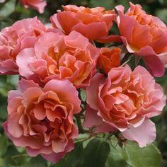 "Rose "" Jean Cocteau ® "" , (Meikokan) , Alain Meilland (France, 2007) , ( "" Charleston ® "" , "" Tequila Supreme "" )"