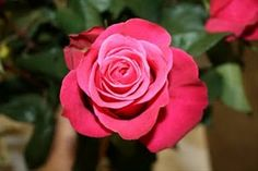 Cherry O - Standard Rose