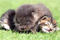 Orphaned otter finds comfort with family of kittens ~ Photo by Richard Austin via This is Devon :)