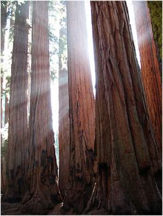 Los arboles mas altos y longevos del planeta | La Reserva