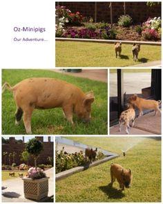 Oz-Minipigs...