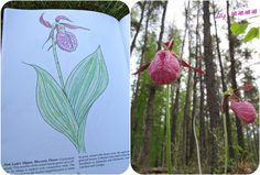 Lady slippers. The book is dead on regarding the conspicuous veins! Coloured a page in a wildflower colouring book today, but last year photographed them in Manitoba's Belair Provincial Forest.