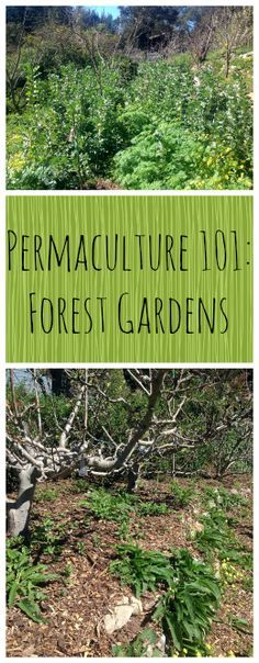 Permaculture 101: Forest Gardens ~ Part 3 in our series, learn all about Food Forests! www.growforagecookferment.com: