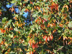 Montpellier Maple, Arce de Montpelier (Acer monspessulanum)