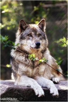 You can compare Coyote vs Wolf vs Pitbull. Go further to know difference and fight comparison between Wolf vs Coyote vs Pitbull- who will win the fight. Wolf Images, Wolf Photos, Wolf Pictures, Animals Amazing, Animals Beautiful, Majestic Animals, Animals And Pets, Cute Animals, Wolf World