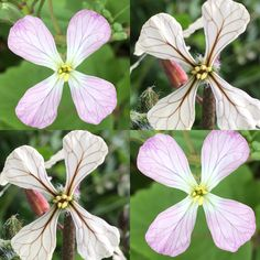 Pretty pink radish and cream rocket flowers. Both spicy and lovely on canapés or in salads. #maddocksfarmorganics #edibleflowers