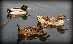 """""""Quack Quack Quack"""" Beth Vincent Photography"""