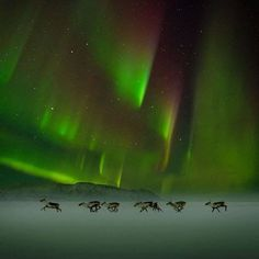 Reindeer race beneath the Aurora-Photo by Ignacio Palacios( Spiritual Ecology's Photo)