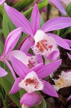 Orquidea Pleione formosana Fotografia de John Glover, uno de los primeros y de los mas importantes fotografos de jardin del Reino Unido
