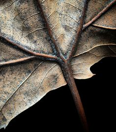 Leaf Photography, Object Photography, Still Life Photography, Leaf Wall Art, Leaf Art, Autumn Fall, Autumn Leaves, Robert Mapplethorpe, Professional Photo Lab