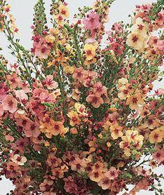 Verbascum, Southern Charm Hybrid 28 Best Perennials for a Cutting Flower Garden Southern Charm Verba Best Perennials, Plants, Planting Flowers, Perennial Garden, Perennials, Flower Garden, Urban Garden, Garden Planning, Cottage Garden