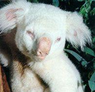 An Albino Koala: Queensland, Australia. Amazing Animals, Most Beautiful Animals, Unique Animals, Beautiful Pictures, Animal Kingdom, Melanistic Animals, Rare Albino Animals, Fauna, Animal Memes