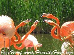 Orange Flamingo Flamingoes in the Park