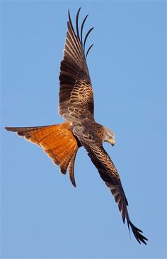 Bird of Prey - Red Kite - Milvus milvus,by The red kite is a medium-large bird of prey in the family Accipitridae, which also includes many other diurnal raptors such as eagles, buzzards, and harriers. Love Birds, Beautiful Birds, Animals Beautiful, Nicolas Vanier, Aigle Animal, Photo Animaliere, Red Kite, Red Tailed Hawk, Bird Wings
