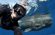 Para uma selfie interessante que seja algo assim! O cachalote é o maior dos cetáceos com dentes bem como o maior animal com dentes actualmente existente e pode medir até 15 mts de comprimento. Curiosidade: Animal com o mergulho mais profundo de entre todos os mamíferos (2.200 mts) podendo suster a respiração por aproximadamente 2 …