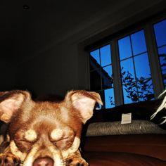Sundays  #chihuahuasofinstagram  #chihuahua  #dog #cute Chihuahua Dogs, Dog Stuff, Board, Cute, Animals, Instagram, Animales, Animaux, Kawaii