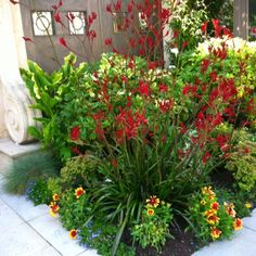 Drought tolerant red sizzler salvia by ButterflyJ
