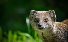 Mongoose by Michel L'HUILLIER - Photo 122027543 / 500px Mongoose, Animals, Animales, Animaux, Animal, Animais