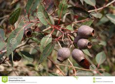 Australian gum nuts and leaves