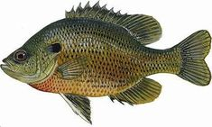 A variety of panfish, or bream as they are popularly known, is available throughout Florida. Bluegill, the most common panfish, thrives in lakes and ponds, but good populations are found in rivers, particularly below dams.