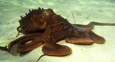 Scientists stunned by huge octopus discovery