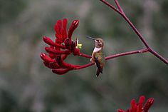 Why Come Back in the Spring? Digital slideshow text explaining hummingbird migration. Cause and effect with other text structures.