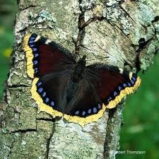 Camberwell Beauty or Mourning Cloak Beautiful Bugs, Beautiful Butterflies, Animals Beautiful, Butterfly Images, Butterfly Kisses, Butterfly Chrysalis, Dragonfly Insect, Moth Caterpillar, Largest Butterfly