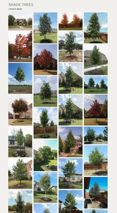 The Top Shade Trees in Texas / Best Shade trees/ Shade Trees in North Texas / Treeland Nursery Deciduous Trees, Trees And Shrubs, Trees To Plant, Best Shade Trees, Tree Care, Growing Tree, Autumn Trees, Picture Design, Plant Care