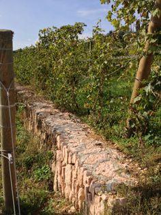 Allegrini #wineroads, guyot trained vines at VIlla della Torre, Valpolicella, Veneto http://selectitaly.com/browse/packages/package/id:80/wine-roads-of-italy-the-allegrini-experience/extref:allegrini