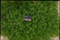 """SmartScape Plant Details - Frog Fruit - native groundcover, full sun to full shade.  """"Tough as a boot.""""  Can be used as a lawn replacement."""