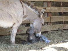 OUR NEW BABY MINI DONKEY WELCOME TO OUR WORLD!