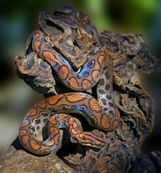 Epicrates cenchria cenchria - Brazilian Rainbow Boa Snake for Marisol Reptiles And Amphibians, Les Reptiles, Mammals, Pretty Snakes, Cool Snakes, Beautiful Snakes, Colorful Snakes, Beaux Serpents, Beautiful Creatures