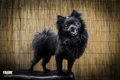 Black Pomeranian posing on top of a stool, Los Angeles.
