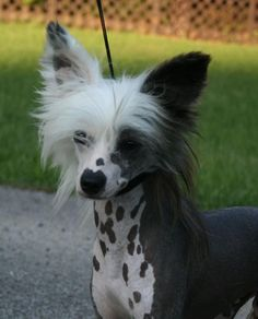 The Chinese Crested Standard