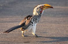 Southern Yellow-billed Hornbill (Tockus leucomelas) enjoying a good meal... | Flickr - Photo Sharing!