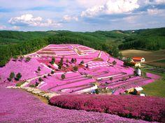 北海道東藻琴芝桜公園 #Japan