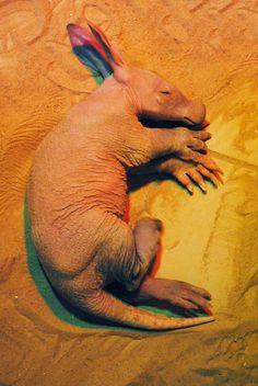 Baby aardvark, asleep.    (Source: http://news.mongabay.com/2012/0404-pod_babyaardvark.html)