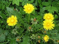 If you choose to spray to control dandelion and chickweed in your lawn, the last two weeks of February are a good time to do it.