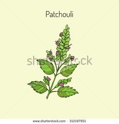 Patchouli (Pogostemon cablin), also patchouly or pachouli - aromatic and medicinal plant, vector illustration