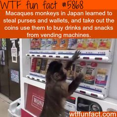 Macaques Monkey in Japan learned to steal wallets and purses for coins to get snacks and drinks out of the vending machine - WTF fun facts Wtf Fun Facts, True Facts, Funny Facts, Random Facts, Odd Facts, Strange Facts, Crazy Facts, Interesting Information, Interesting Facts