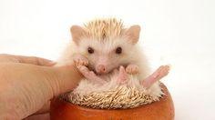 Africký trpasličí ježek patří mezi letošní vánoční hity.