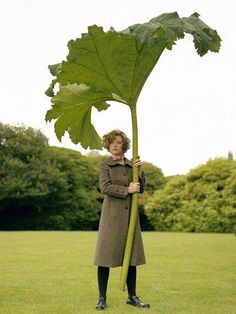 The amazing Gunnera Tinctora or perhaps Manicata Leaf./ Image by Philip Newton//